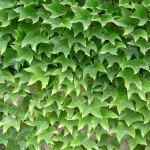 Parthenocissus Tricuspidata 'Wilder Wein'