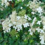 Hydrangea Petiolaris 'Kletterhortensie'