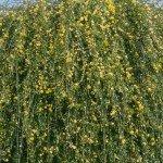 Jasminum Nudiflorum 'Winterjasmin'