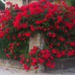 Rosa Paul Scarlet ''
